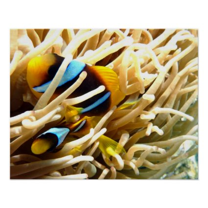 Clown Fish Posters