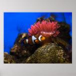 clown fish posters