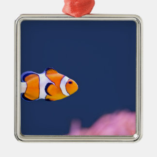 Clown fish swims in blue water with pink anemone metal ornament
