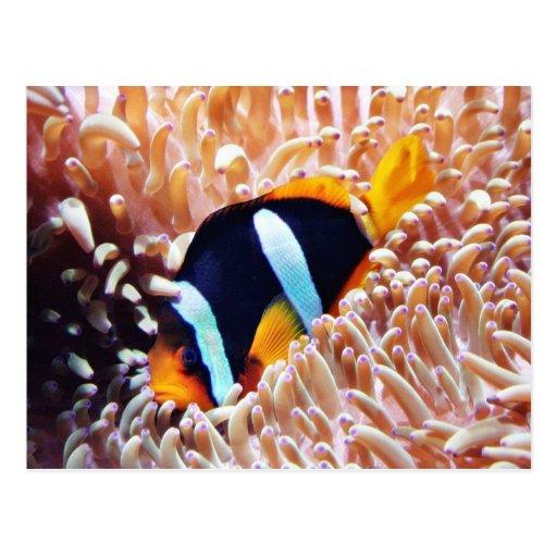 Clown Fish Tropical Fish Postcard