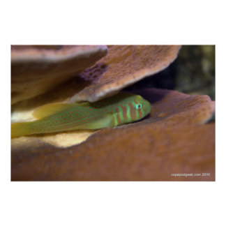 Clown Goby In Coral Posters