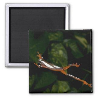 Clown Treefrog, Hyla leucophylatta, Native to 2 Inch Square Magnet