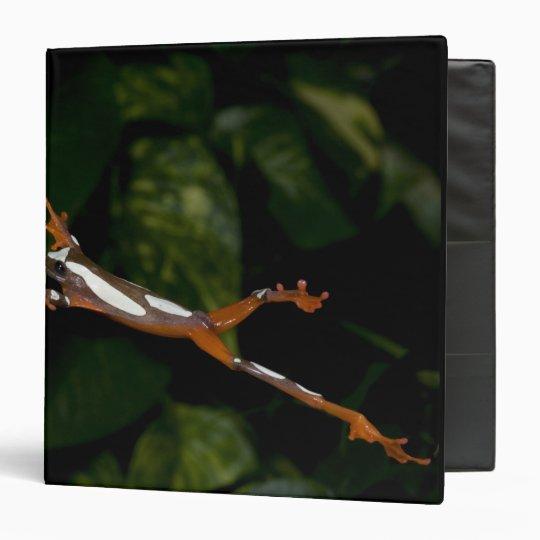 Clown Treefrog, Hyla leucophylatta, Native to 3 Ring Binder