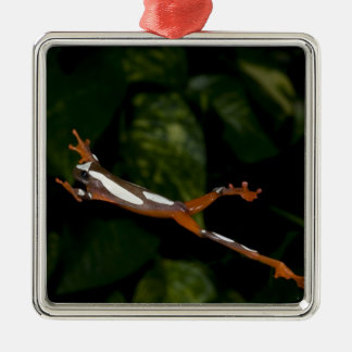 Clown Treefrog, Hyla leucophylatta, Native to Metal Ornament