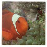 Clownfish 2 azulejo cuadrado grande
