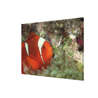Clownfish 2 canvas print