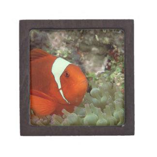 Clownfish 2 jewelry box