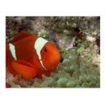 Clownfish 2 postales