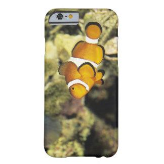 Clownfish comunes (ocellaris del Amphiprion), Funda De iPhone 6 Barely There
