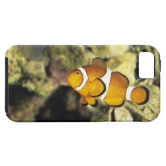 Clownfish comunes (ocellaris del Amphiprion), iPhone 5 Funda