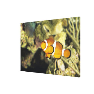 Clownfish comunes (ocellaris del Amphiprion), Lienzo Envuelto Para Galerias