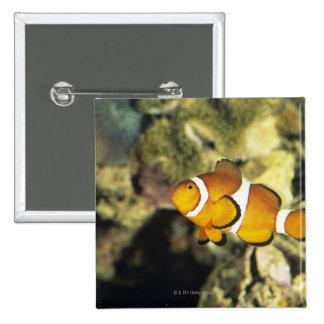 Clownfish comunes (ocellaris del Amphiprion), Pin Cuadrado