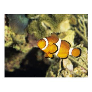 Clownfish comunes (ocellaris del Amphiprion), Postal