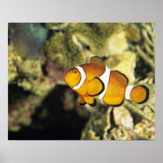Clownfish comunes (ocellaris del Amphiprion), Póster