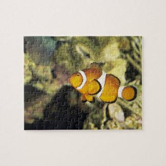 Clownfish comunes (ocellaris del Amphiprion), Rompecabezas