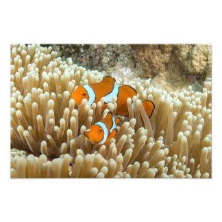 Clownfish lindo en la gran barrera de coral cojinete