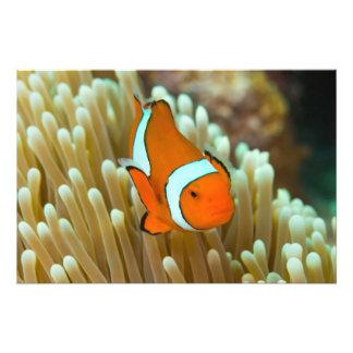 Clownfish lindo en la gran barrera de coral fotografía