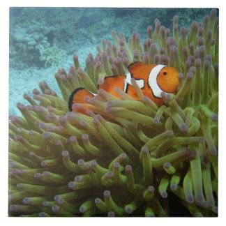 Clownfish occidental (ocellaris del Amphiprion), a Azulejo Cuadrado Grande
