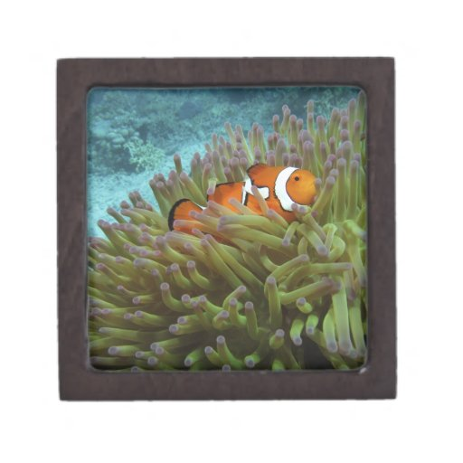Clownfish occidental (ocellaris del Amphiprion), a Cajas De Joyas De Calidad