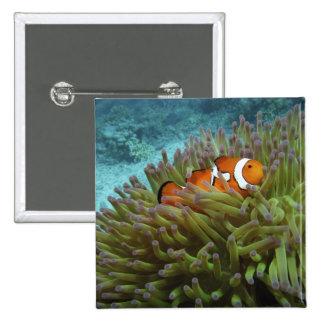 Clownfish occidental (ocellaris del Amphiprion), a Pin Cuadrado