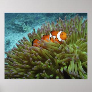 Clownfish occidental (ocellaris del Amphiprion), a Póster