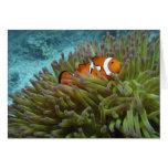 Clownfish occidental (ocellaris del Amphiprion), a Tarjetas
