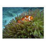 Clownfish occidental (ocellaris del Amphiprion), a Postales