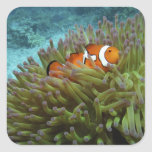 Clownfish occidental (ocellaris del Amphiprion), Pegatina Cuadradas Personalizada