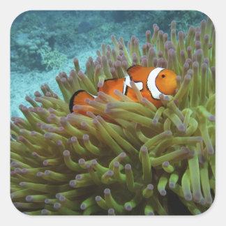 Clownfish occidental (ocellaris del Amphiprion), Pegatina Cuadrada