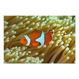 Clownfish on the Great Barrier Reef Photo Print