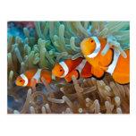 Clownfish Postales