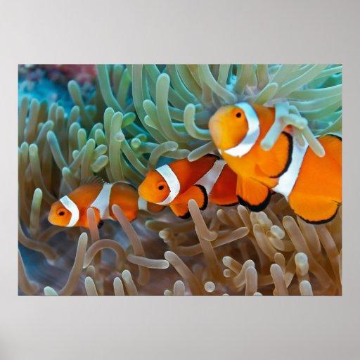 Clownfish Póster