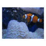 Clownfish Print