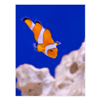 Clownfish Tarjetas Postales