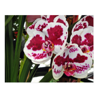 Cluster Gorgeous Velvety White and Purple Orchids Postcard