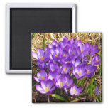 Cluster of Purple Crocuses Early Spring Flowers Magnet