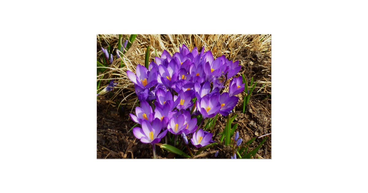cluster of purple crocuses early spring flowers poster