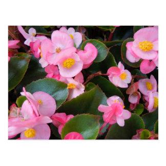 Cluster of Varying Pink Begonias Postcard