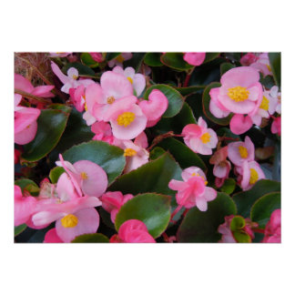 Cluster of Varying Pink Begonias Poster