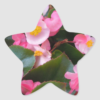 Cluster of Varying Shades of Pink Begonias Star Sticker
