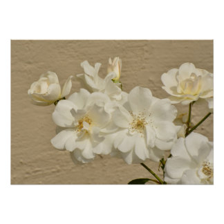 Cluster of White Roses Poster
