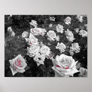 Cluster of White Roses Poster