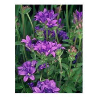Clustered Belleflower, (Campanula Glomerata Postcards
