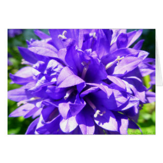 Clustered Bellflower (Campanula glomerata Superba) Card