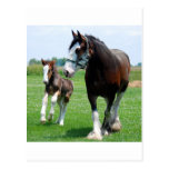 Clydesdale and Filly Post Cards
