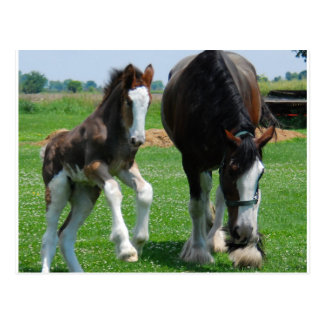 clydesdale and filly postcards
