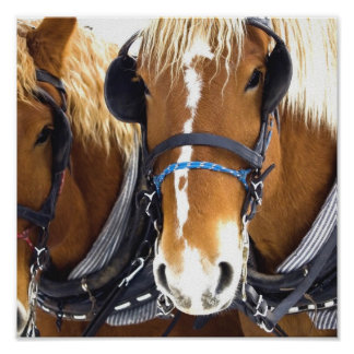 Clydesdale Draft Horse Poster Print