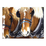 Clydesdale Draft Horses Postcard