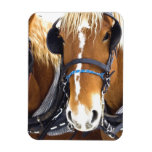Clydesdale Draft Horses Premium Magnet Rectangle Magnets