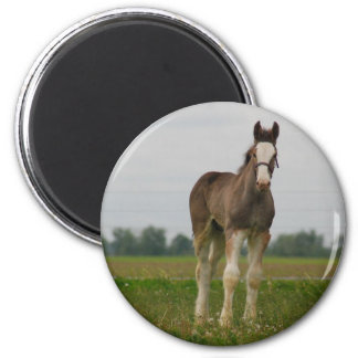 clydesdale filly refrigerator magnet